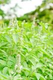 Ocimumbasilicum of Harig Basilicum in de tuin royalty-vrije stock afbeeldingen
