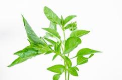 Ocimumbasilicum of harig basilicumblad royalty-vrije stock foto's
