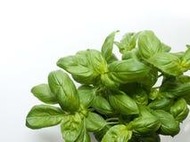 Ocimumbasilicumväxt Fotografering för Bildbyråer