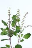 Ocimumtenuiflorum Stock Afbeeldingen