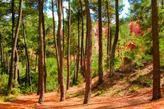 Ockerhaltige Ablagerung Roussillon: Wald von Kurvenkiefern in der Schlucht mit der roten Erde stockfotografie