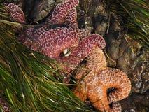 Ockerhaltige Seesterne in einem Gezeitenpool mit Meerespflanze lizenzfreie stockfotos