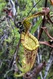 också som koppen som lokalt vets, härma nepentheskannaväxten Royaltyfri Fotografi
