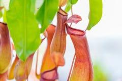 också som koppen som lokalt vets, härma nepentheskannaväxten Royaltyfria Bilder