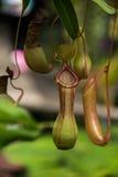 också som koppen som lokalt vets, härma nepentheskannaväxten Arkivfoto
