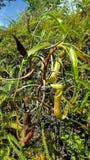 också som koppen som lokalt vets, härma nepentheskannaväxten royaltyfri foto
