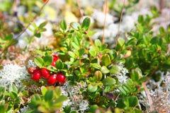 också som vetet wild för bär cranberry arkivbild