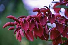 Сockspur coral tree Erythrina crista-galli Stock Images