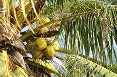 Сoconut tree Stock Photo