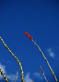 ocotillo ανθών Στοκ Φωτογραφία