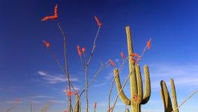 Ocotillo και κάκτος στο εθνικό τοπίο πάρκων Saguaro Στοκ εικόνες με δικαίωμα ελεύθερης χρήσης
