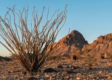 Ocotillo в черных горах западной Аризоны стоковые изображения rf