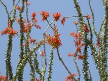 Ocotillo Royalty Free Stock Photography