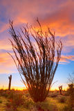 Ocotillo stockfoto
