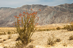 Ocotillo Photos stock