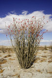 Ocotillo. Close up of single flowering ocotillo plant in native desert setting with blue sky and white cloud background stock photo