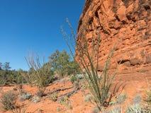 Ocotillo near Sedona, Arizona. Ocotillo along the Courthouse Butte Trail, Sedona, Arizona stock images