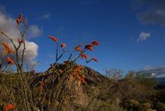 Ocotillo in the Anza-Borrego Desert A stock photos