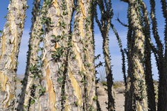 Ocotillo Bark Royalty Free Stock Images
