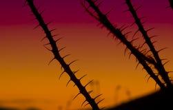Ocotillo bij Zonsondergang Stock Foto's
