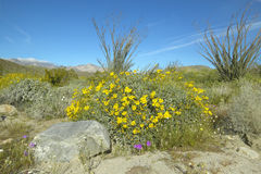Ocotillo blüht in der Frühjahrwüste an der Kojote-Schlucht, Anza-Borregowüsten-Nationalpark, nahe Anza Borrego Springs, CA stockfoto