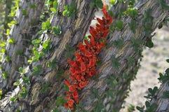 Ocotillo-Blüte Lizenzfreie Stockbilder