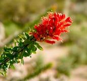 Ocotillo-Blüte nach einem Frühlingsregen lizenzfreie stockfotos