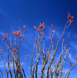 Ocotillo In Bloom. Springtime in the Sonoran Desert. The Ocotillo is the strangest looking plant of the desert. Not a cactus but usually referred to as one stock photography
