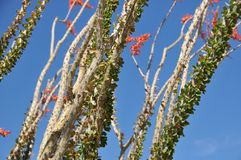 Ocotillo bloom Stock Photography