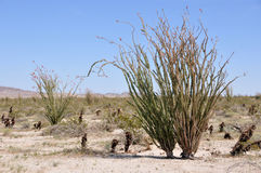 Free Ocotillo Bloom Stock Photography - 8821062