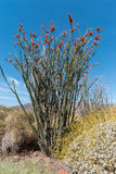 Ocotillo in bloom Stock Photo