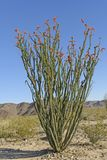 Ocotillo in Bloom in the Desert Royalty Free Stock Images