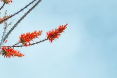 ocotillo in bloom with orange flowers royalty free stock images