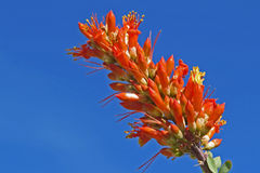 Ocotillo Bloom Royalty Free Stock Image