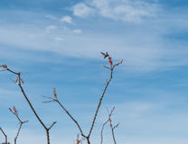 Ocotillo Royalty Free Stock Photo