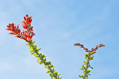 Ocotillo Blooms in Tucson, Arizona Royalty Free Stock Photos