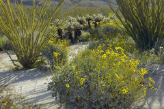 Ocotillo blossoms and desert gold yellow flowers in spring at Coyote Canyon, Anza-Borrego Desert State Park, near Anza Borrego royalty free stock photo