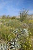 Ocotillo blossoms in springtime desert Royalty Free Stock Photos