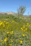 Ocotillo blossoms in springtime desert at Coyote Canyon, Anza-Borrego Desert State Park, near Anza Borrego Springs, CA royalty free stock photo