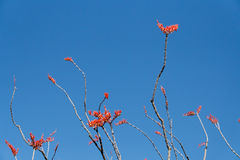 Ocotillo Branches against Blue Sky royalty free stock image