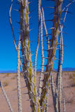 Ocotillo Branches. Thorns grow from the stems of an ocotillo plant in the desert of southern California royalty free stock images