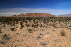 Ocotillo Cactii Royalty Free Stock Images