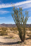 Ocotillo Cactus. Ocotillo in the Sonora Desert part of Joshua Tree National Park, California Royalty Free Stock Photography