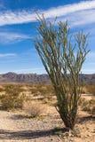 Ocotillo Cactus royalty free stock photography