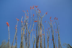 Ocotillo Cactus in Bloom Stock Image