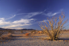 Ocotillo cactus in the California desert Royalty Free Stock Photography