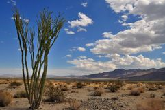 Ocotillo cactus in the desert, Joshua Tree NP Stock Photography
