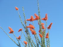 Ocotillo Royalty Free Stock Photos