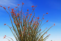 Ocotillo Cactus in Organ Pipe Cactus National Monument royalty free stock photo