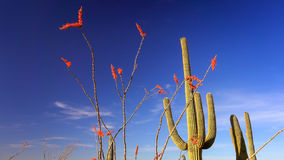 Ocotillo and Cactus in Saguaro National Park Landscape Royalty Free Stock Images